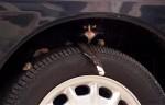 Klop op de motorkap voordat je de auto start!